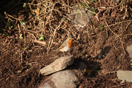 The robin coming very close to where I was working.
