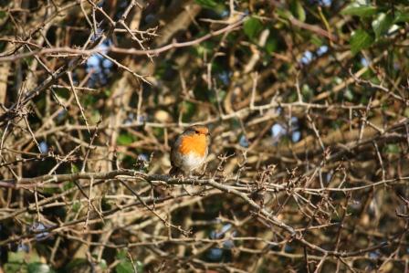 An Irish Robin.