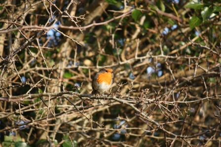 An Irish Robin.