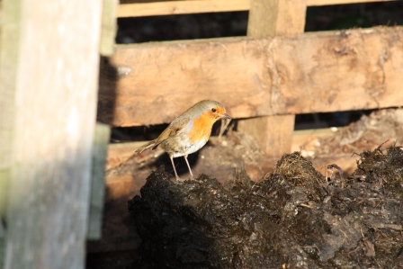 Robin on the compost.