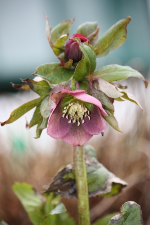 Hellebore in March.