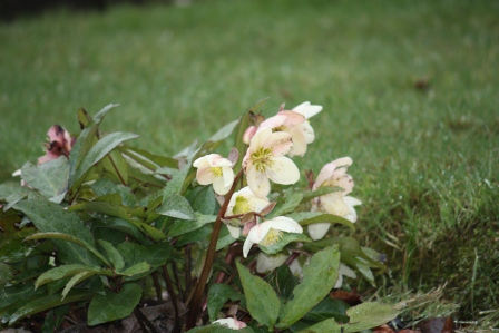 Pale yellow Hellebore.