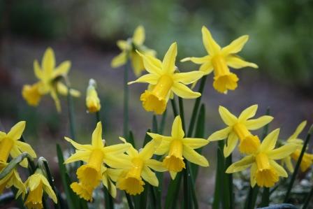 Daffodil season.