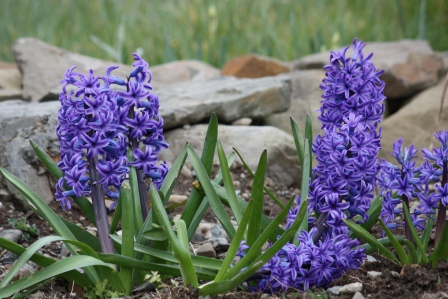 Hyacinth (after too much wind!).