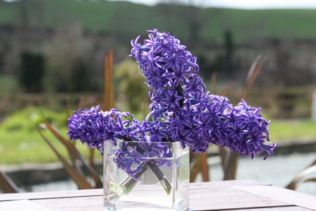 Hyacinth after being knocked down by harsh winds.