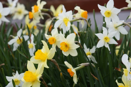A variety of different daffodils.