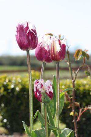 Tulip Blueberry Ripple.