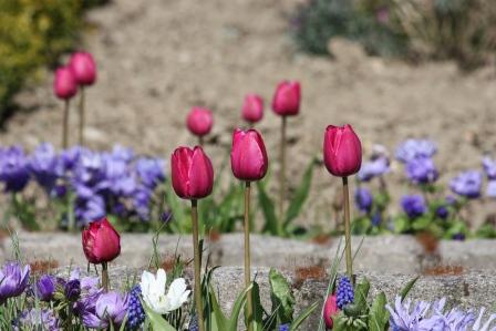 Tulipa Triumph Purple.