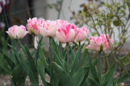 Tulip Foxtrot in May.