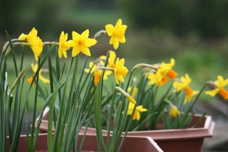 Dwarf daffodils in May.