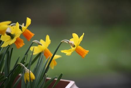 Dwarf daffodils Jetfire.