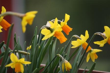 Dwarf daffodil Jetfire.