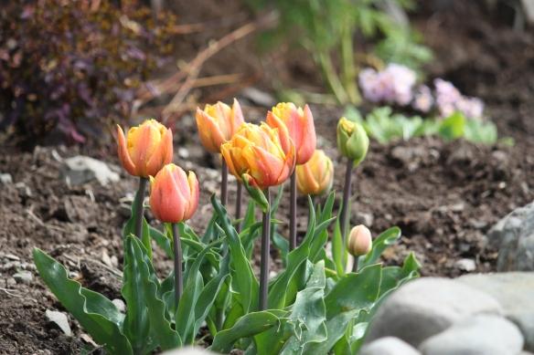 Freeman tulip.