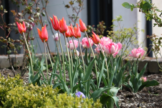 """My lily flowered """"Ballerina"""" tulips are dancing in the wind!"""