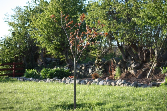 Cherry tree in new home near the ditch wall garden.