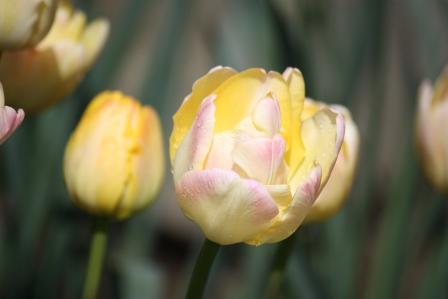 Tangerine Tango Tulip.