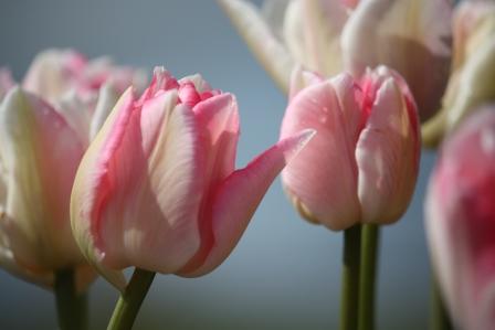 Double late Angelique Tulip.
