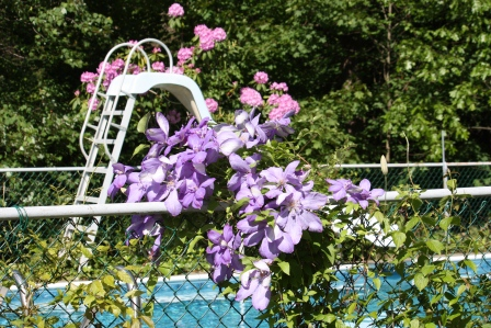 The morning glories have been replaced with lovely Clematis.