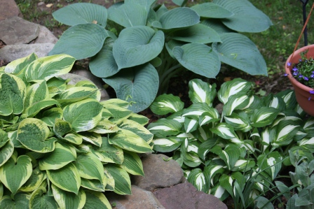 A collection of hosta.