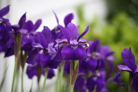 Gorgeous Iris in Robin B's garden!