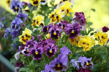 Betty's ruffled pansies.