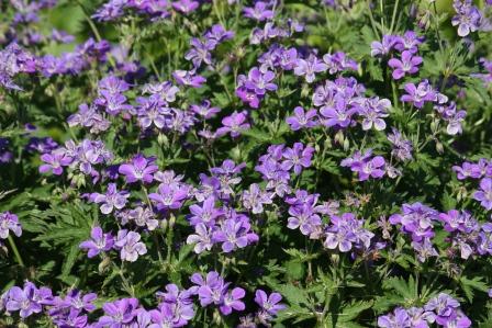 Blue Geranium.