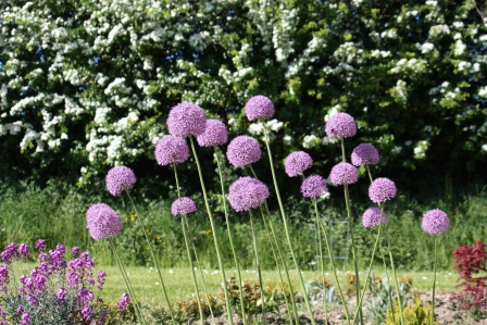 Allium posing in front of the Hawthorn trees.