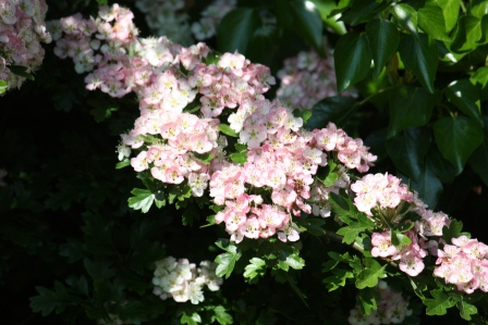 Sprays of pink in the Hawthorn blooms.