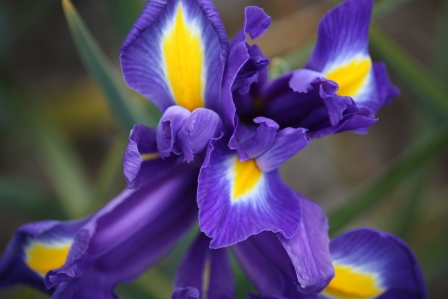 Dutch Iris Blue Magic.