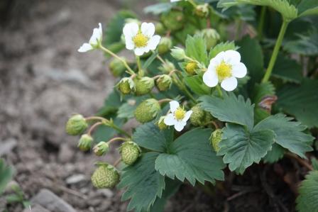 Strawberry plants.