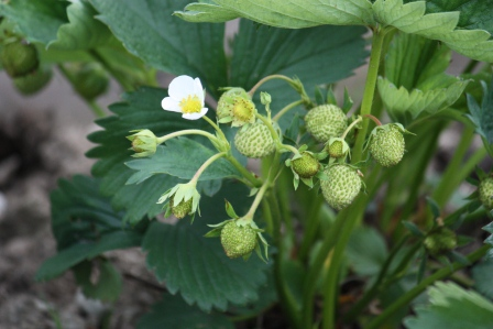 Strawberry plants.