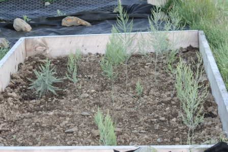 A look at the growing asparagus.