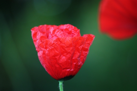 A very wrinkled looking poppy!