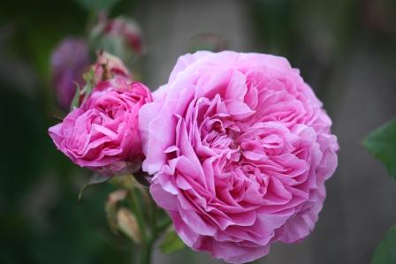 Rosa Jacques Cartier (1868).