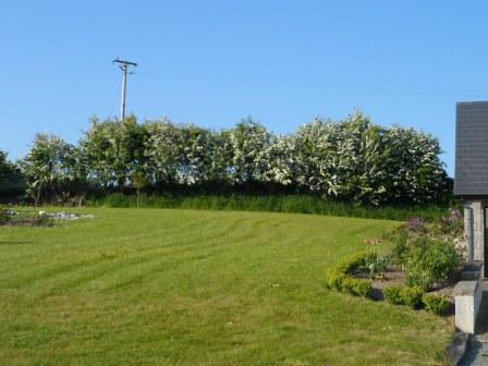 Hawthorn in full bloom.