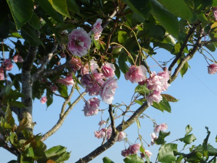 Cherry tree in early June.
