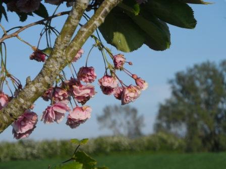 Cherry Tree the beginning of June.