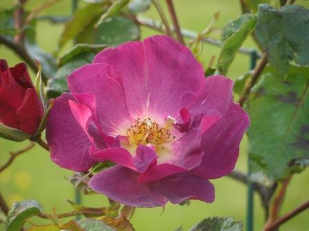 Burgundy Ice Floribunda rose.