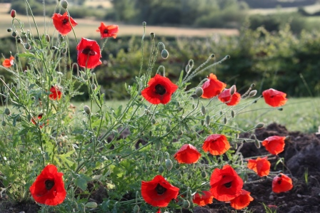 Too many pictures of poppies?
