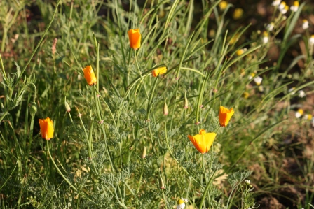 Wild orange poppies.