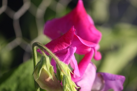 One sweet pea  in full bloom and one starting to open.