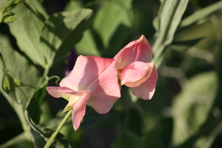 A light shade of pink sweet pea.