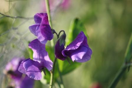 Purple sweet pea.