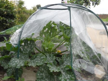 A very happy zucchini plant.