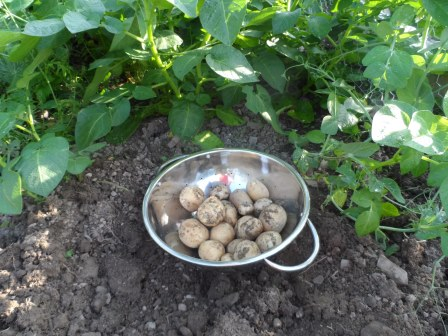 Last year's early crop of potatoes!