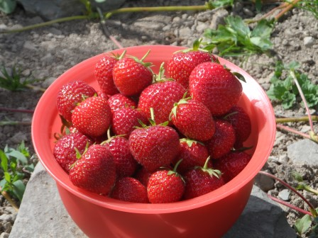Bumper crop of Strawberries!