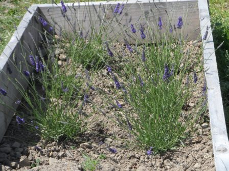 Lavender angustifolia in a raised bed.