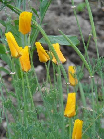 Irish Wild-flowers.