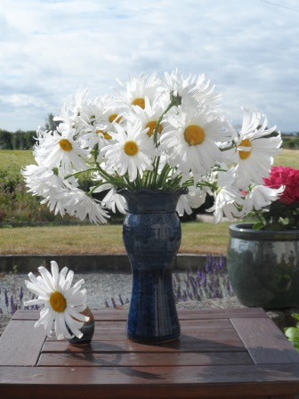 Some of my Shasta Daisy :-)