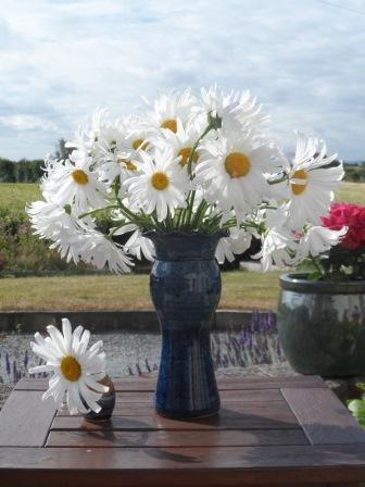 Some of my Shasta Daisy :-)